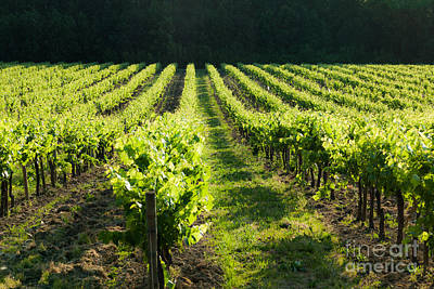 Photograph - Rows Of Grape Vines Perspective by Peter Noyce