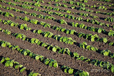Photograph - Rows Of Growing Brown Beans Plants by Kennerth and Birgitta Kullman