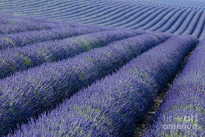 Photograph - Rows Of Lavender by Brian Jannsen