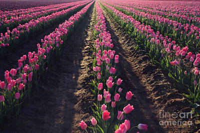 Photograph - Rows Of Pink by Sylvia Cook