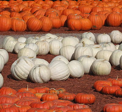 Cards Photograph - Rows Of Pumpkins 3 by Cathy Lindsey