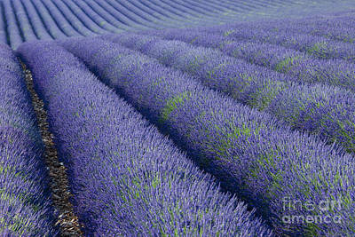 Photograph - Rows Of Purple by Brian Jannsen