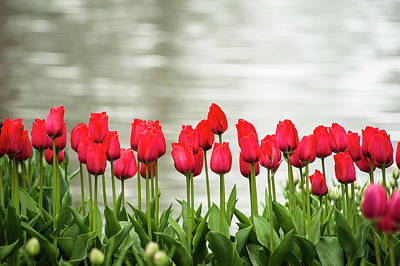 Landscape Netherlands Photograph - Rows Of Red Tulips Are Bright by Sheila Haddad