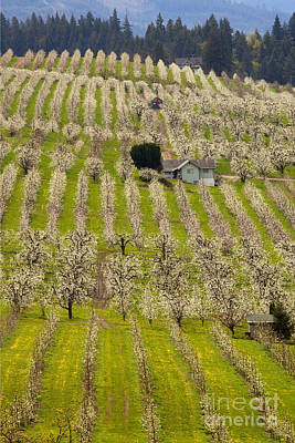 Pear Tree Photograph - Rows Of Spring by Mike  Dawson