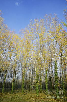 Rows Of Trees With Yellow Leaves Art Print by Sami Sarkis