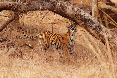 Tiger Markings Photograph - Royal Bengal Tiger Catching The Scent by Jagdeep Rajput