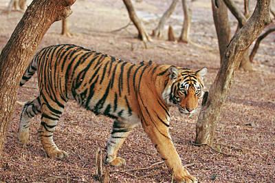 Royal Bengal Tiger Coming Art Print