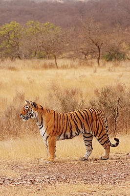 Royal Bengal Tiger In The Dry Art Print by Jagdeep Rajput