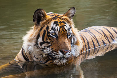 Photograph - Royal Bengal Tiger by Manjot Singh Sachdeva