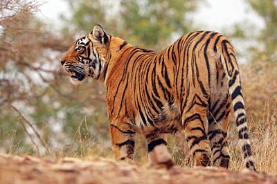 Royal Bengal Tiger Photograph - Royal Bengal Tiger On Uphill by Jagdeep Rajput