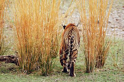 Royal Bengal Tiger Photograph - Royal Bengal Tiger Out For A Walk by Jagdeep Rajput