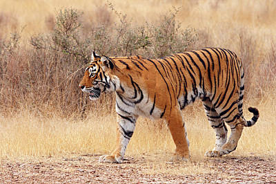 Rajasthan Photograph - Royal Bengal Tiger Walking Around Dry by Jagdeep Rajput