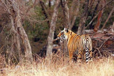 Royal Bengal Tiger Photograph - Royal Bengal Tiger Walking Around It's by Jagdeep Rajput