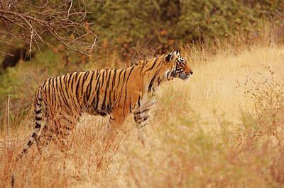 Royal Bengal Tiger Photograph - Royal Bengal Tiger Watching by Jagdeep Rajput