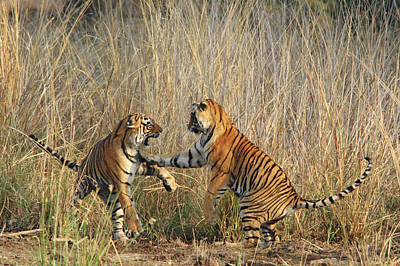 Fighting Tigers Photograph - Royal Bengal Tigers Play-fighting by Jagdeep Rajput