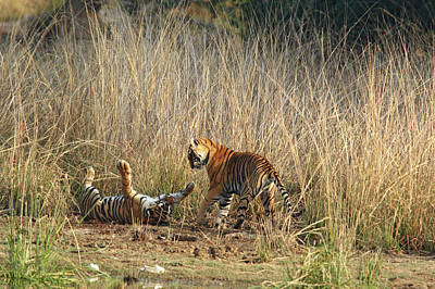 Fighting Tigers Photograph - Royal Bengal Tigers Playing by Jagdeep Rajput