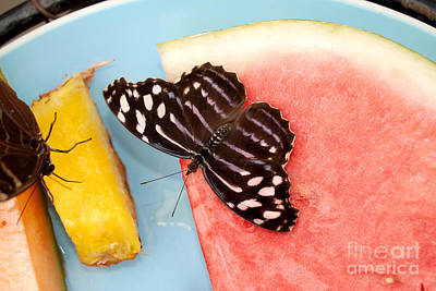 Art Print featuring the photograph Royal Blue Butterfly by Eva Kaufman