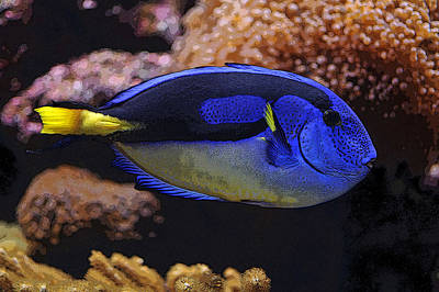 Photograph - Royal Blue Tang by Dragan Kudjerski