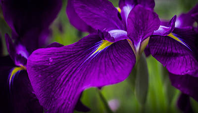 Photograph - Royal Iris by Will Bailey