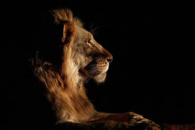 Lion Wall Art - Photograph - Royal Meeting In The Night by Andreas Hemb