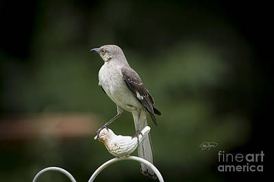 Photograph - Royal Mockingbird by Cris Hayes