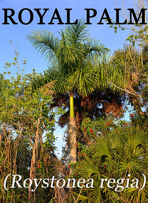 Photograph - Royal Palm In Its Native Habitat by David Lee Thompson