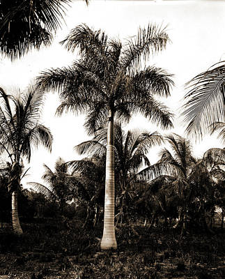 Miami Drawing - Royal Palms At Cocoanut I.e by Litz Collection