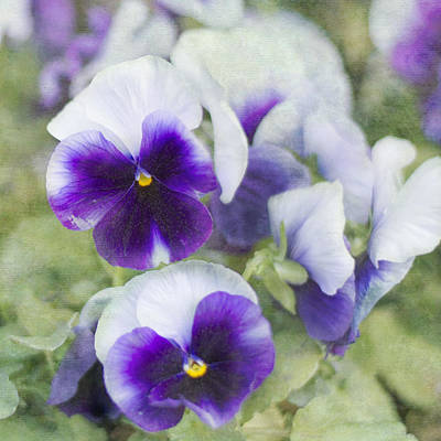 Photograph - Royal Pansies by Cathie Richardson