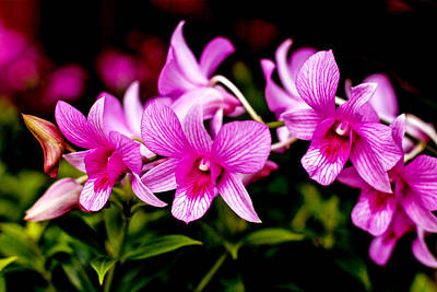 Royal Pink Orchid Art Print by Donald Chen