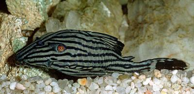 Fresh Water Fish Photograph - Royal Pleco by Millard H. Sharp