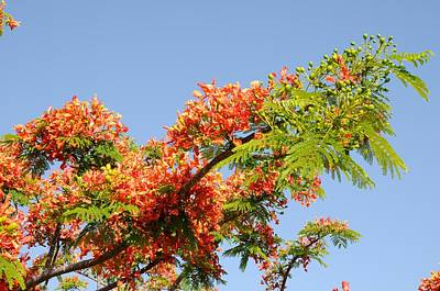 Photograph - Royal Poinciana Branch by Bradford Martin