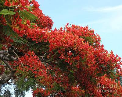 Royal Poinciana Branch Art Print by Mary Deal