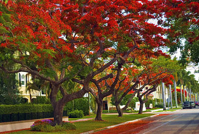 Royal Poinciana Trees Blooming In South Florida Art Print
