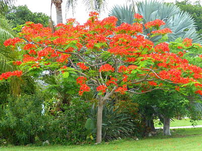 Art Print featuring the photograph Royal Poinciana by Kay Gilley
