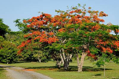 Photograph - Royal Poinciana Tree by Bradford Martin
