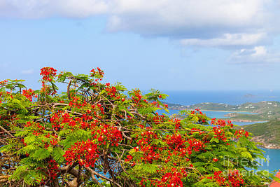 Photograph - Royal Poinciana View by Diane Macdonald