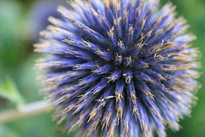 Photograph - Royal Purple Scottish Thistle by Peta Thames