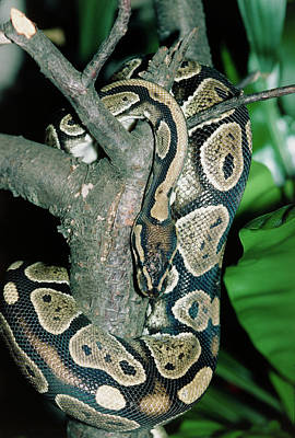 Burmese Python Wall Art - Photograph - Royal Python by Dr Morley Read/science Photo Library