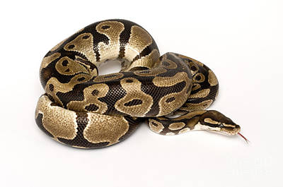 Ball Python Photograph - Royal Python by Mark Bowler