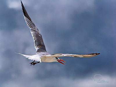 Photograph - Royal Tern 1 by Ludwig Keck