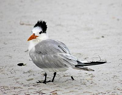 Photograph - Royal Tern - Adult Nonbreeding by Jeanne Kay Juhos