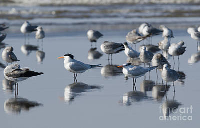Photograph - Royal Tern by Dan Suzio