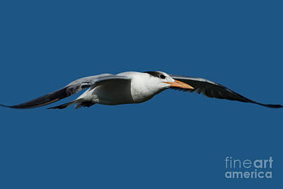 Photograph - Royal Tern Flying Over Sanibel Island by Meg Rousher