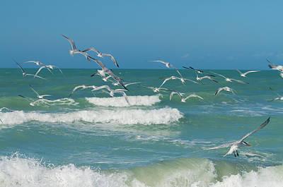 Kim Photograph - Royal Tern Frenzy by Kim Hojnacki