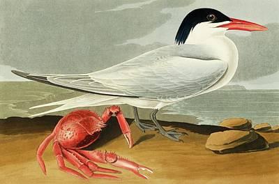 Maxima Wall Art - Photograph - Royal Tern by Natural History Museum, London/science Photo Library