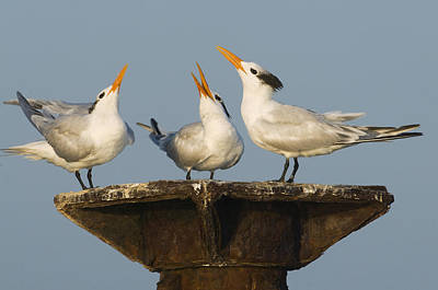 Schafer Photograph - Royal Tern Trio Displaying Dominican by Kevin Schafer