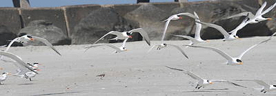 Amelia Island Photograph - Royal Terns 3 by Cathy Lindsey