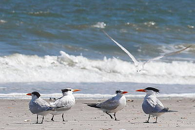 Scavenger Photograph - Royal Terns 5 by Cathy Lindsey