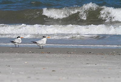 Tern Photograph - Royal Terns 6 by Cathy Lindsey