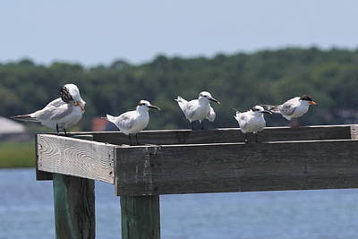 Gull Photograph - Royal Terns And Sandwich Terns by Cathy Lindsey